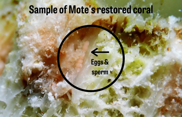 Breakthrough Mote Restores Coral –, Our Town Sarasota News Events