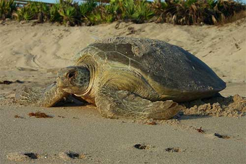 Mote Sea Turtle Counts Down, Our Town Sarasota News Events